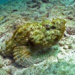 UW-Skorpionfisch